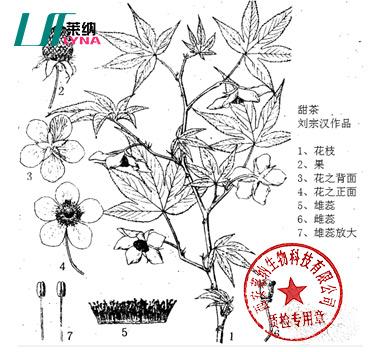 甜茶植物学特性