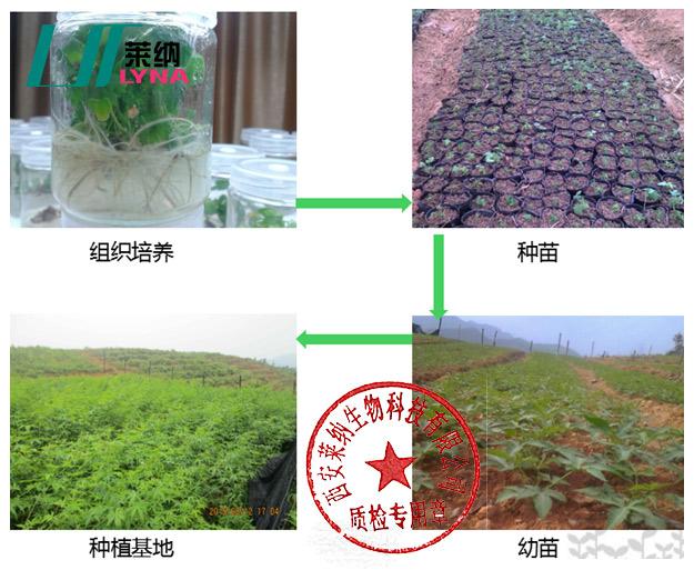 甜茶种植生产工艺